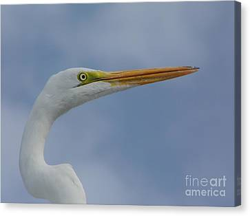 Beautiful Great Egret Canvas Print by D Hackett