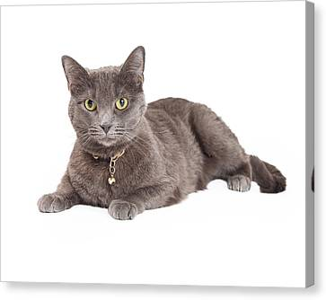 Beautiful Grey Domestic Shorthair Cat Laying Canvas Print by Susan Schmitz