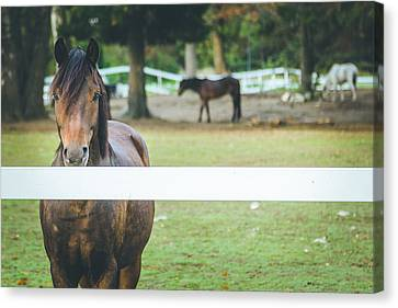 Beautiful Horse Behind A Farm Fence Canvas Print by Aldona Pivoriene