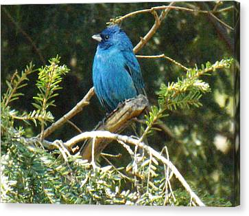 Beautiful Indigo Bunting Canvas Print by Brenda Brown
