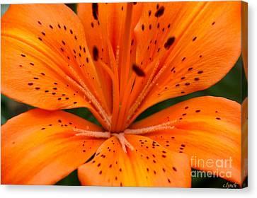 Beautiful Lily Canvas Print by Carol Lynch