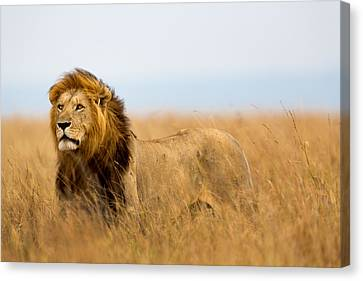 Beautiful Lion Caesar In Masa Mara Canvas Print by Maggy Meyer