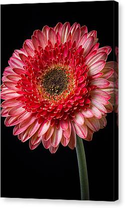 Beautiful  Pink Gerbera Canvas Print by Garry Gay