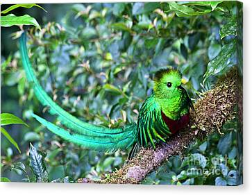 Beautiful Quetzal 3 Canvas Print by Heiko Koehrer-Wagner