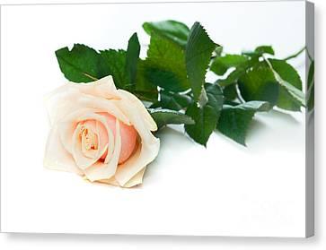 Beautiful Rose On White Canvas Print by Michal Bednarek