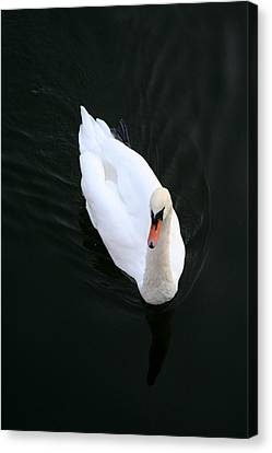 Beautiful Swan Canvas Print by Allan Millora