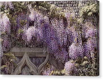 Beautiful Wisteria Canvas Print by Svetlana Sewell