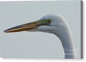Beauty In The Great Egret Canvas Print by D Hackett