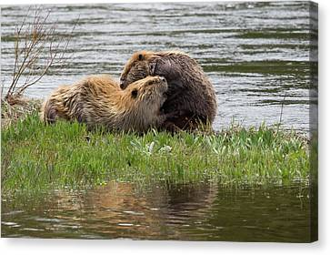 Beaver Pair Grooming One Another Canvas Print by Ken Archer