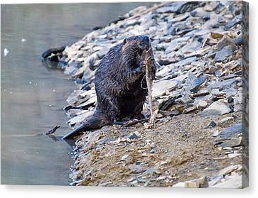 Beaver Sharpens Stick Canvas Print by Chris Flees