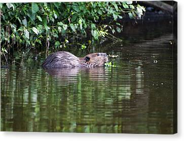 beaver swims in NC lake Canvas Print by Chris Flees