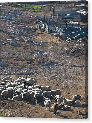 Bedouin Livestock Canvas Print by Don Wolf