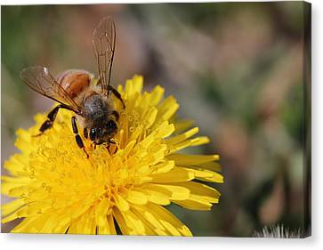 Bee And Dandelion Canvas Print by Lorri Crossno