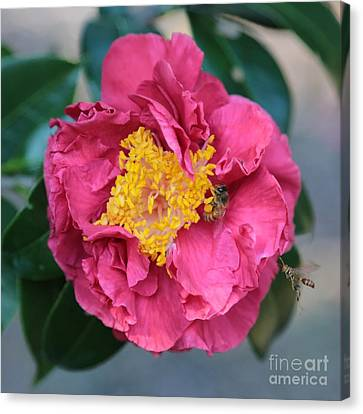 Bee And Wasp On Camellia Square Canvas Print by Carol Groenen