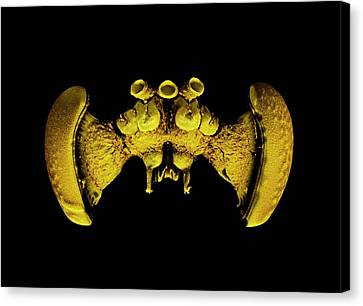 Bee Brain Canvas Print by Dan Sykes/natural History Museum, London