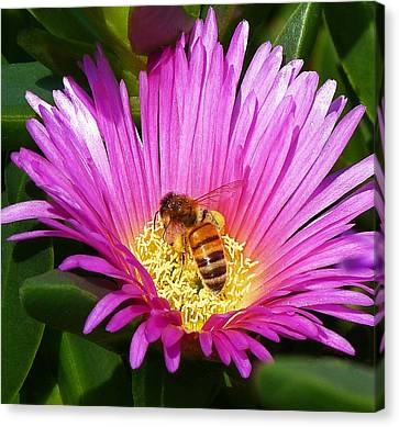 Bee Collecting Pollen On Pigface Flower Canvas Print by Margaret Saheed