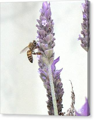 Bee On Lavender Canvas Print by Cybele Chaves