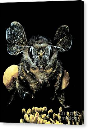 Bee Loaded With Pollen Canvas Print by Darwin Dale