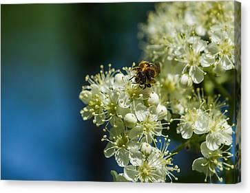 Bee On A Rowan Flower - Featured 3 Canvas Print by Alexander Senin