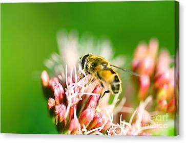 Bee On Flower Canvas Print by Michal Bednarek