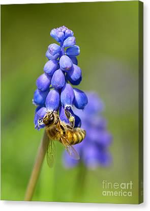 Bee On Grape Hyacinth Canvas Print by Sharon Talson