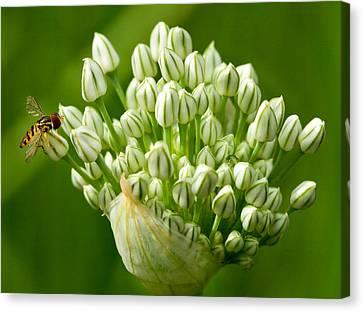 Bee On Onion Bloom Canvas Print by Iris Richardson