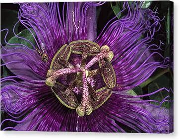 Bee On Passion Flower Brazil Canvas Print by Pete Oxford