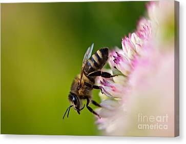 Bee Sitting On A Flower Canvas Print by John Wadleigh