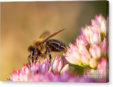 Bee Sitting On Flower Canvas Print by John Wadleigh