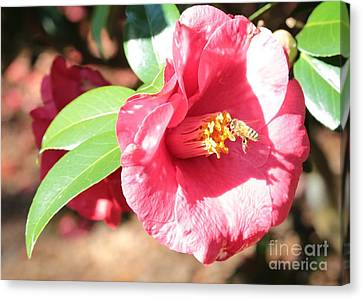 Bee With Camellia Canvas Print by Carol Groenen