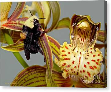Bee With Pollen Sac On Its Back Canvas Print by Susan Wiedmann