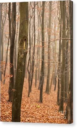 Beech Wood In Autumn Canvas Print by Anne Gilbert