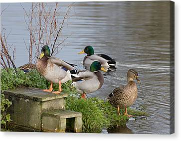 Before Starting Any Project One Must Line Up Your Ducks Canvas Print by Dave Byrne