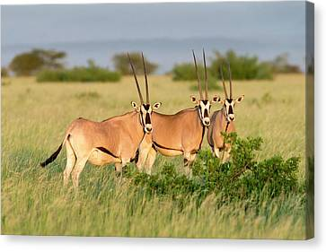 Beisa Oryx Herd In Awash National Park Canvas Print by Tony Camacho