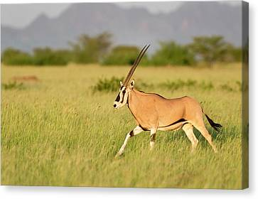 Beisa Oryx Running In Awash National Park Canvas Print by Tony Camacho
