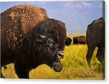 Belligerent Bison Canvas Print by Tracy Munson