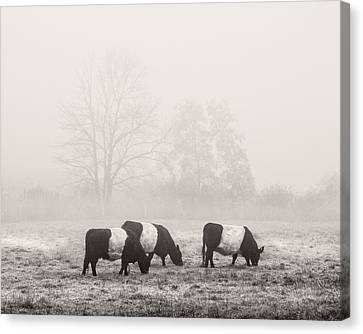 Belted Galloway Cows On Foggy Farm Field In Maine Canvas Print by Keith Webber Jr