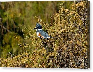 Belted Kingfisher Female Canvas Print by Anthony Mercieca