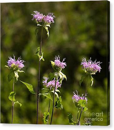 Bergamot Canvas Print by Steven Ralser