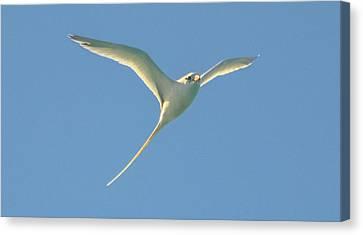 Bermuda Longtail In Flight Canvas Print by Jeff at JSJ Photography