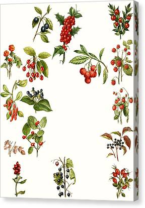 Berries Canvas Print by English School