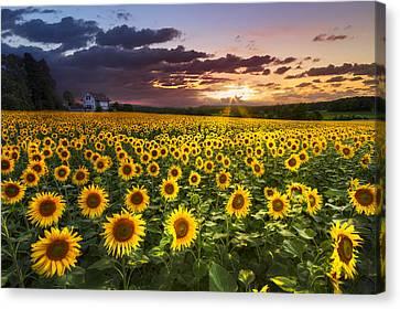 Big Field Of Sunflowers Canvas Print by Debra and Dave Vanderlaan