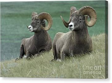 Big Horn Sheep 3 Canvas Print by Bob Christopher