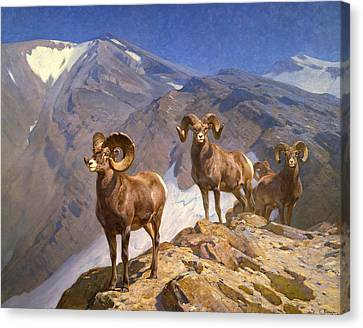Big Horn Sheep On Wilcox Pass Canvas Print by Mountain Dreams