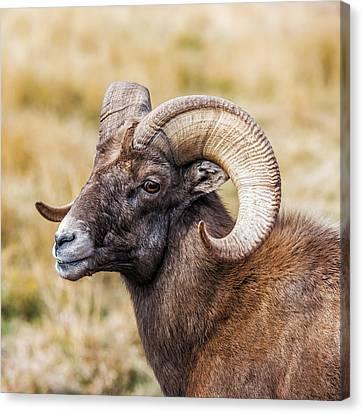 Big Horn Sheep Canvas Print by Paul Freidlund