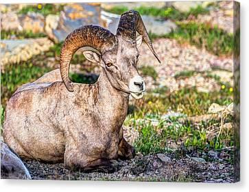 Big Horn Sheep Portrait Canvas Print by Derek Haller