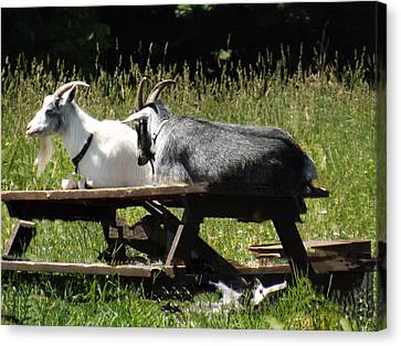 Billy Goats Picnic Canvas Print by Brenda Brown