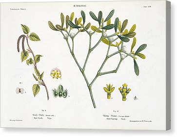 Birch And Mistletoe Canvas Print by Matthias Trentsensky