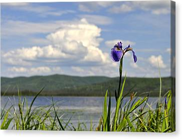 Birch Lake Iris Canvas Print by Cathy Mahnke