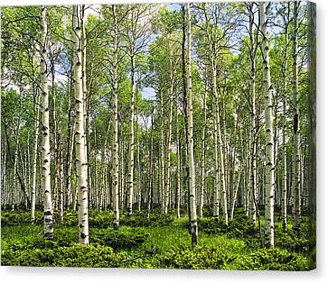 Birch Tree Grove In Summer Canvas Print by Randall Nyhof
